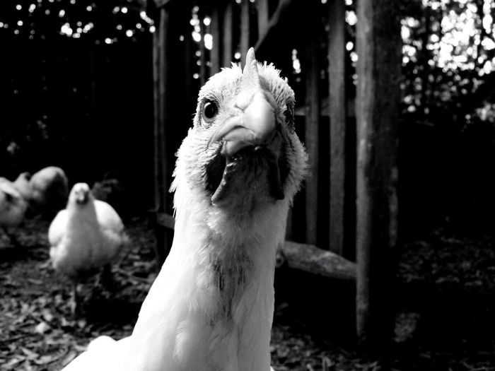 EyeEmNewHere Animal Themes Close-up Domestic Animals No People Bird Nature Day Outdoors Mammal Field Nature Chickens White Animals In The Wild Angry Food Silhouette Dark Beauty In Nature Shadow Outside One Animal Blackandwhite Black Pet Portraits Black And White Friday