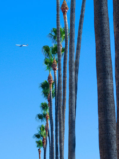 Airplane flying over palm trees against clear sky