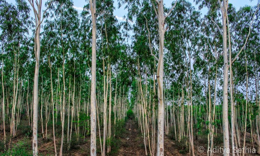Plant Tree Forest Growth Land Nature Day Tranquility No People Beauty In Nature Landscape WoodLand Scenics - Nature Environment Outdoors Bamboo - Plant Green Color Trunk Tranquil Scene Bamboo Treelined Pine Woodland Rainforest
