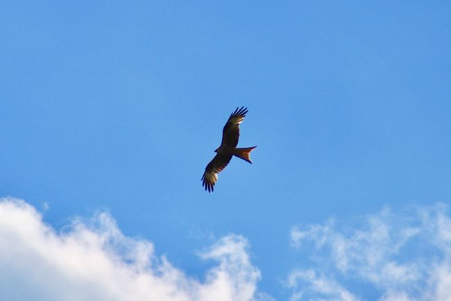 Flying Spread Wings Bird Mid-air One Animal Animals In The Wild Low Angle View Animal Themes Sky Day Nature Animal Wildlife Motion Outdoors Cloud - Sky Bird Of Prey Blue No People Beauty In Nature