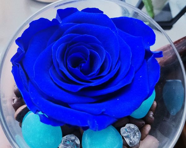 Follow me on instagram: agpeta Rose Head Blue Blue Rose Blue Flower Blue Rose Head Blue Is Beautiful Blue Is Everywhere I LOVE BLUE ♡ I Love Blue Flower I Love Blue Rose Flower Rose - Flower Petal Nature Blue Fragility Flower Head Beauty In Nature Growth Indoors  No People Close-up Day Freshness EyeEmNewHere