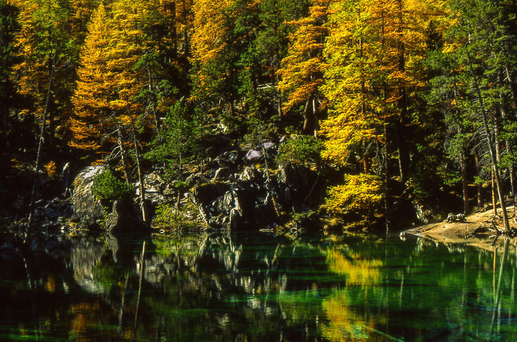 Colors Of Autumn Larches Trees Piedmont Italy Beauty In Nature Forest Green Lake Mountain Reflections Tranquil Scene
