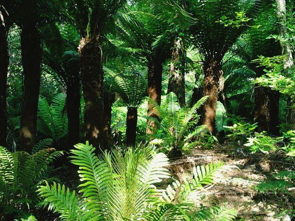 Tree fern forest Treeferns Treefern Fern Dicksonia Antartica Australian Native Trees Irish Garden Kell's Bay Kerry Ireland Wildatlanticway Ireland