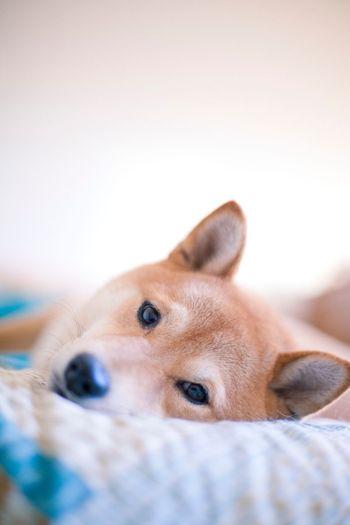 Shiba Shiba Inu Shiba Inu LOVE Dogs Canon5dmk2