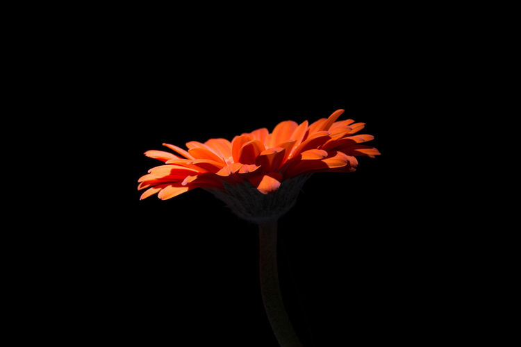 Flower in the dark ... Beauty In Nature Black Background Blooming Close-up Copy Space Day Flower Flower Head Fragility Free Space For Text Freshness Growth Nature No People Petal Plant Studio Shot