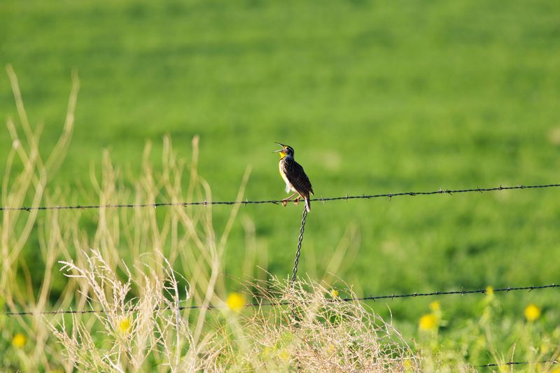 joyous morning Singing Bird Sunlight Wildlife Fence Agriculture Field Farm Western Meadowlark Lark Singing Meadow Lark Mouth Open Musical Green Green Field Grass Bird One Animal Animals In The Wild Animal Wildlife Nature Animal No People Animal Themes Green Color Outdoors Perching Beauty In Nature