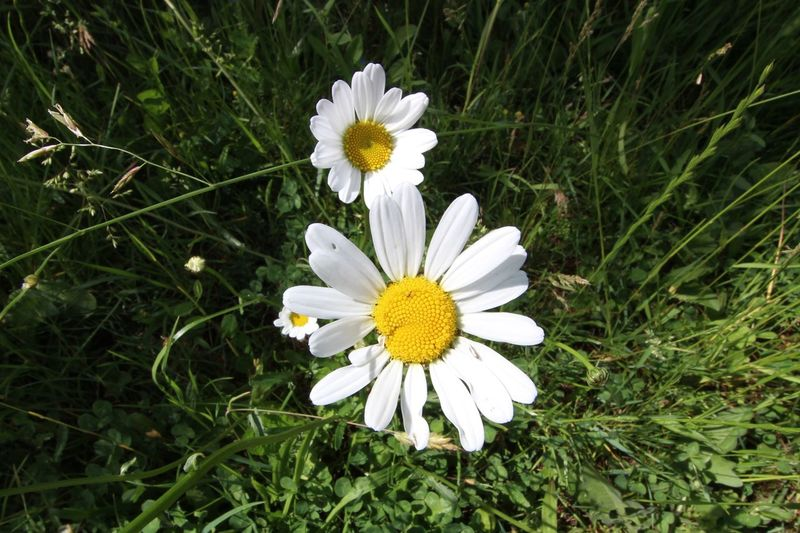 Flower Power @ Germany Beauty In Nature Blooming Close-up Day Flower Flower Head Flower Power Flower Power🌼 Fragility Freshness Grass Growth Nature No People Outdoors Petal Plant White Color