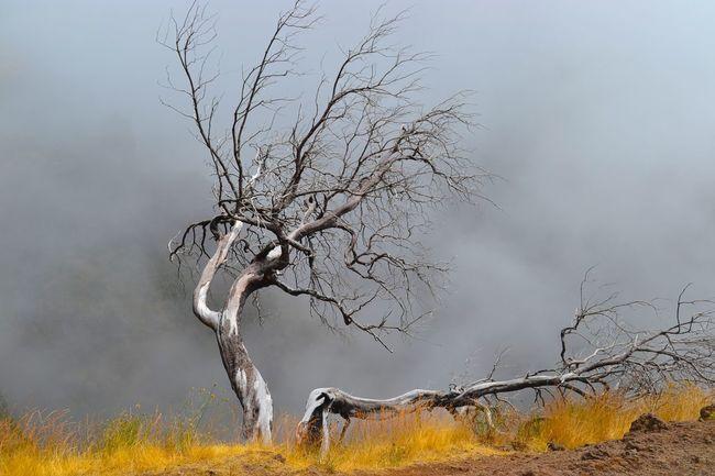 Trees Tree Deadtree Dead Photography Fog Madeira Hollidays Grey Gold