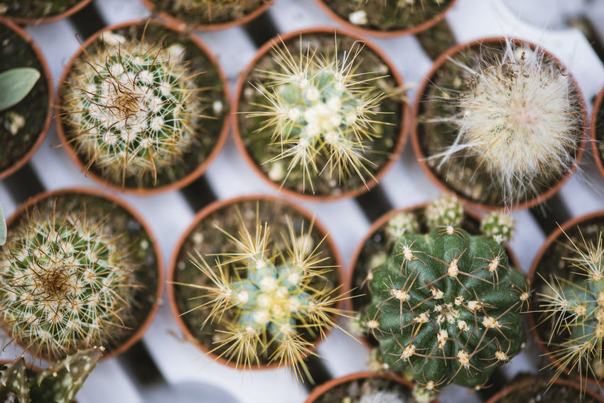 Barrel Cactus Cactus Green Color Growth High Angle View Mini Plants Natural Pattern Nature Plant Potted Plant Selective Focus Sharp Small Spiked Succulent Plant Thorn Top View