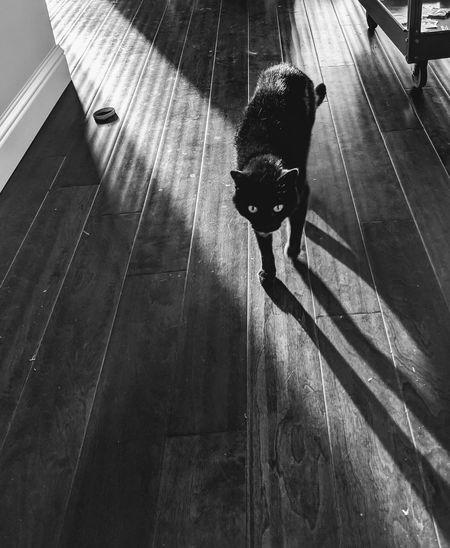 Black cat walking on hardwood floor, casting a long shadow.