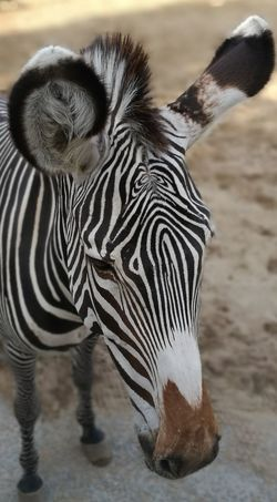 Animal Wildlife Animals In The Wild One Animal Zebra Mammal No People Nature Animal Themes Outdoors Day Full Length Portrait Close-up