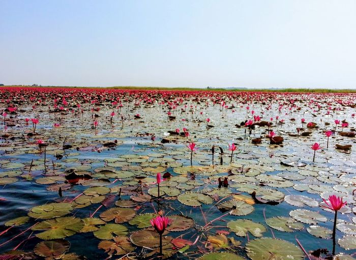 Pink and White lotus blossoms floating on a placid lake as far as the eye can see... Lotus Blossom Lotus Background Floating Lotus Flower Nature Beauty In Nature Clear Sky No People Water Leaf Floating On Water Water Lily Lily Pad Plant Sky An Eye For Travel