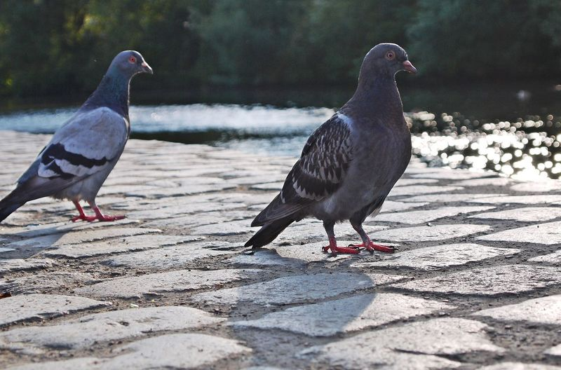 Animal Themes Animals In The Wild Beak Bird Focus On Foreground Full Length Mirror Reflection Nature Pigeons Pigeonslife Relationship Riverside Shadow Sign For Friendship Sun Down Evening Tranquility Wildlife Zoology