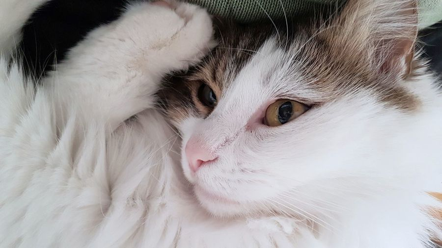 Pets Domestic Cat Domestic Animals Portrait Looking At Camera Animal Feline Mammal One Animal Cute Close-up Animal Head  Kitten Day Indoors  No People Animal Themes