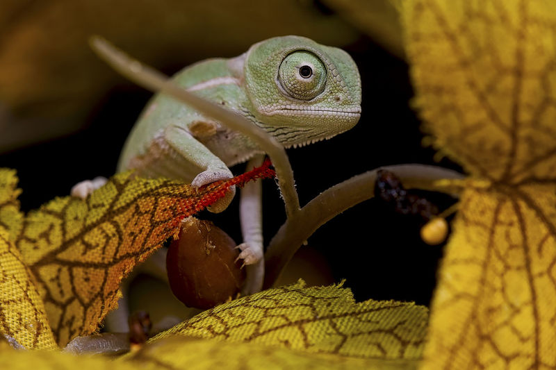 1 week old baby veiled chameleon Animal Animal Body Part Animal Scale Animal Themes Animal Wildlife Babychameleon Babylizard Chameleon Close-up Leaf Lizard Nature No People One Animal Plant Plant Part Reptile Selective Focus