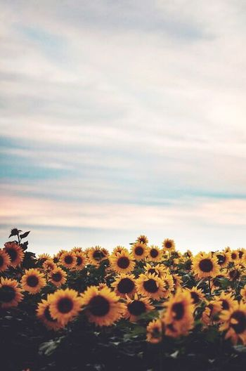 Sunflowers on plants against sky during sunset