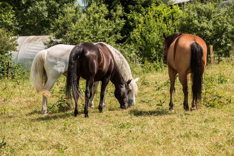 Horses on the green meadow Agriculture Animal Animal Family Animal Themes Animal Wildlife Day Domestic Domestic Animals Field Grass Grazing Group Of Animals Herbivorous Horse Land Livestock Mammal Nature No People Outdoors Pets Plant Vertebrate