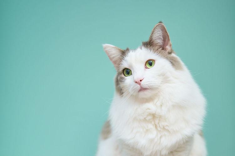 Portrait of white cat against blue background