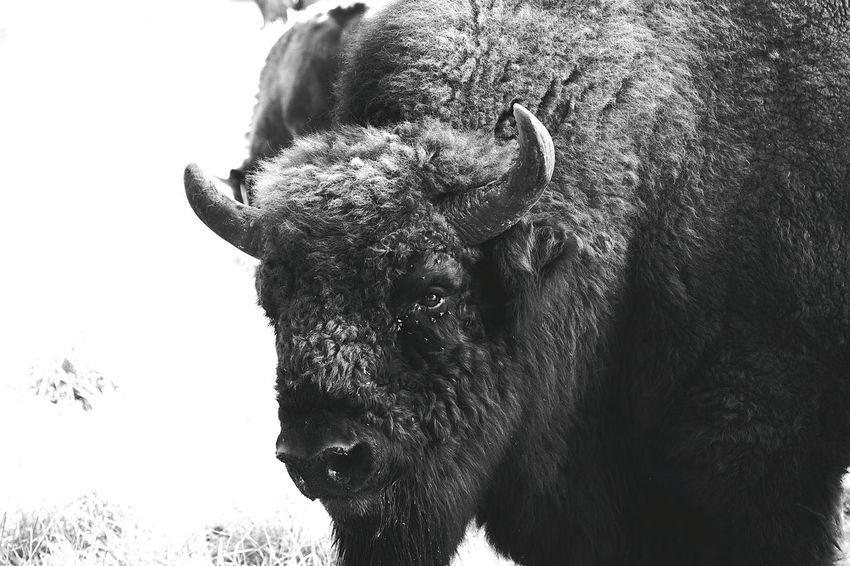Animal Themes One Animal Animals In The Wild Animal Head  Focus On Foreground Wildlife Domestic Animals Outdoors Animal Nose No People Animal Bison, Buffalo, Blackbirds, Wyoming, Wild, Animal, Horns, Fur, Raw, Bison Blackandwhite Photography Black & White Fotography Black And White Germany Photos Official EyeEm © Black&white Blackandwhite Portrait Black And White Portrait Blackandwhitephoto The Week On Eyem EyeEm Best Shots