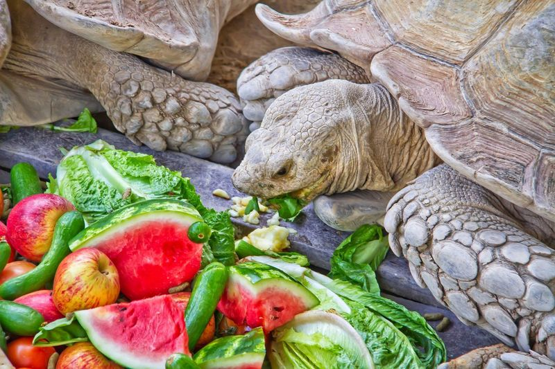 Lunch time Turtle 🐢 Turtle Tortoise Lunchtime Lunch Time! Lunch Wildlife & Nature Wildlife Zoo Animals  Zoophotography Zoo Life Zoo Food And Drink Food Healthy Eating Wellbeing Freshness No People Vegetable Fruit Nature