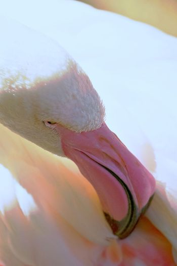 Close-up Day Nature Fragility No People Outdoors One Animal Softness Flamingo Young Animal Young Flamingo