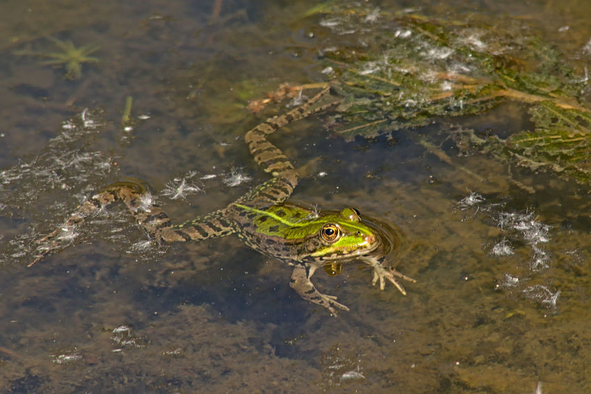 Frog swimming in a pool Animals In The Wild Frog Pond Swimming Amphibian Animal Wildlife Animals In The Wild Anura Day Eyes High Angle View Lake Legs Marine Nature No People One Animal One Man Only Pool Puddle Water Wildlife