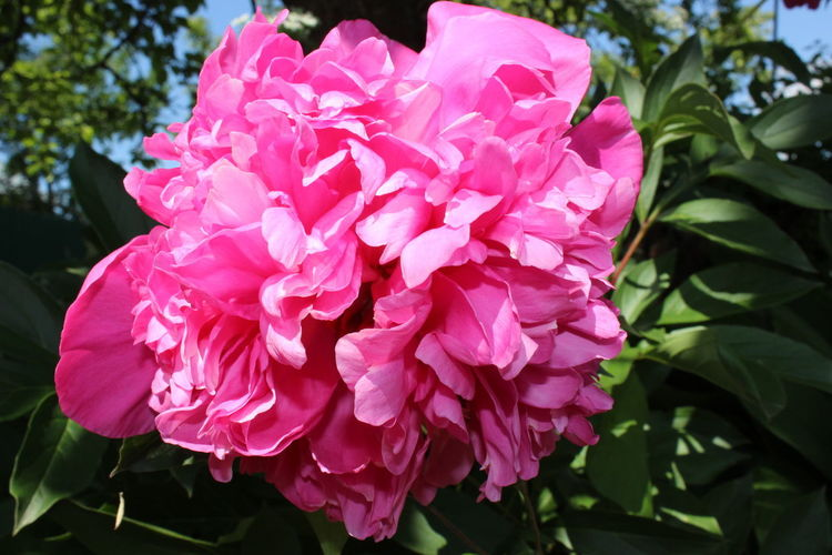 пион Pink Color Flower Head Flower Peony  Pink Color Petal Wild Rose Close-up Plant Pale Pink Botany