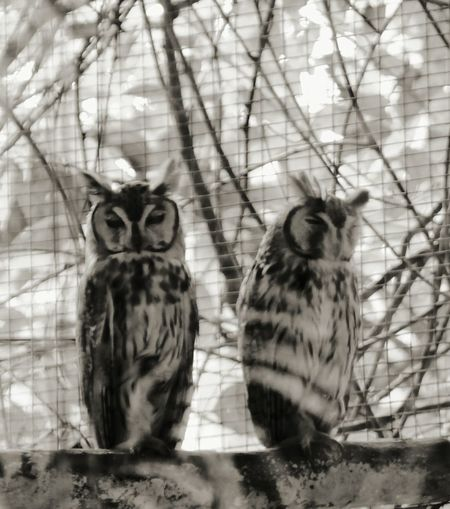 Wise Old Owls Cahuita Wildlife Refuge Costa Rica Monochrome Black And White (c) 2015 Shangita Bose All Rights Reserved Snbcr The Portraitist - 2016 EyeEm Awards Nature's Diversities