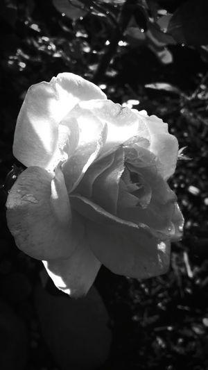 Flowers Rose🌹