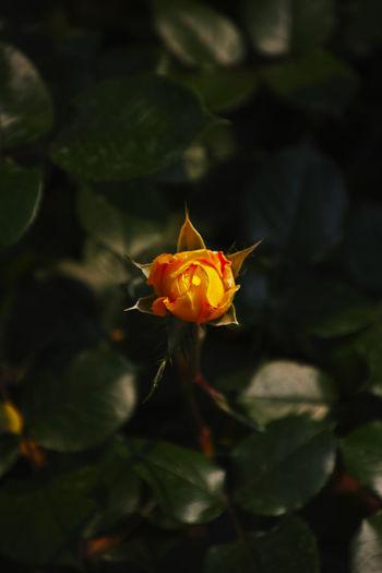 看花还没开的时候,总会有一些想象,等花真的开了,好像也差不多一样。 rose Flowering Plant Flower Nature Rosé Petal Freshness Flower Head