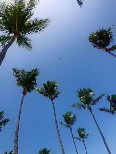 Palm Tree Tree Low Angle View Blue Nature Sky Plane