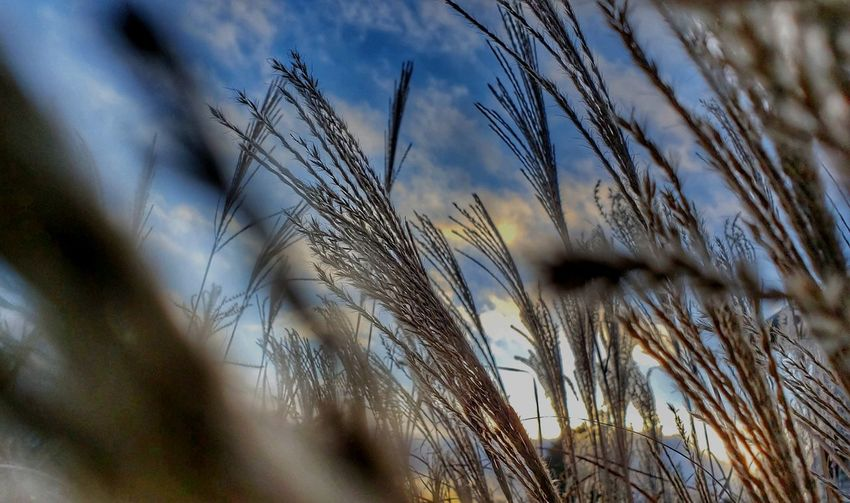 Darryn Doyle Dramatic Sky Check This Out Cereal Plant Rural Scene Wheat Agriculture Rye - Grain Seed Crop  Field Close-up Sky Timothy Grass Reed - Grass Family Stalk Cultivated Land