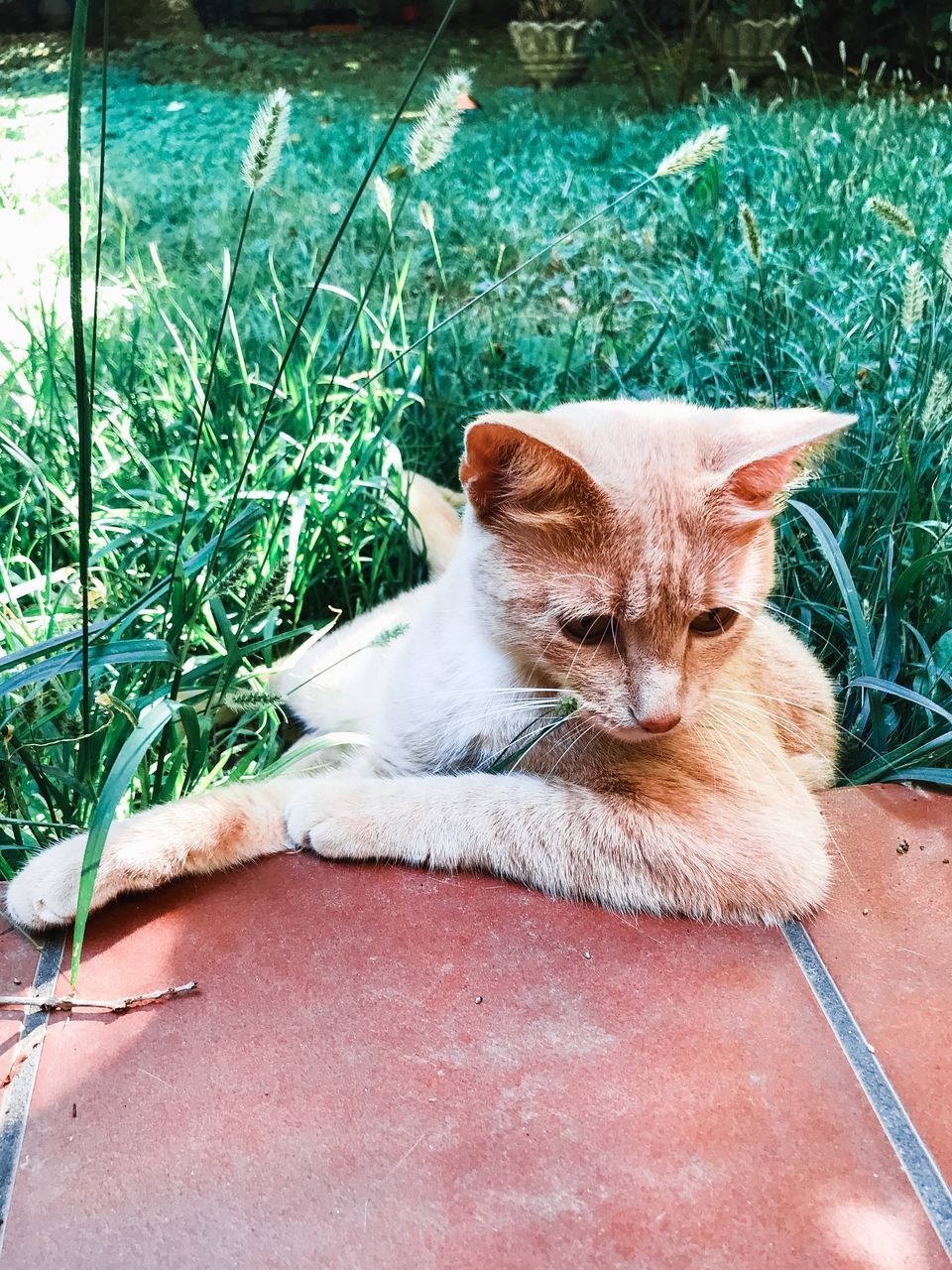 mammal, pets, domestic, one animal, domestic animals, cat, domestic cat, vertebrate, feline, grass, relaxation, plant, day, nature, no people, lying down, green color, whisker, ginger cat