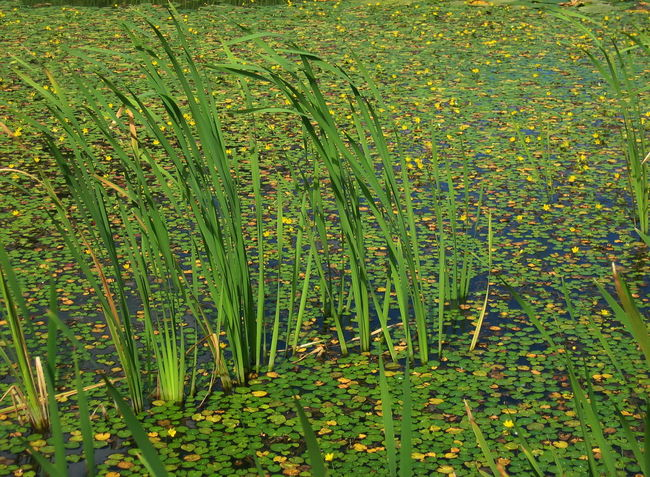 Beauty In Nature Green Color Nature Plants Pond Südtirol Water Water Flowers Water Plants