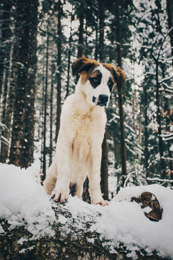 Dogs Nature Travel Animal Themes Beauty In Nature Cold Temperature Day Dog Forest Full Length Looking At Camera Mammal Nature Nature_collection No People One Animal Outdoor Photography Outdoors Pets Portrait Snow Tree Tree Trunk Winter WoodLand