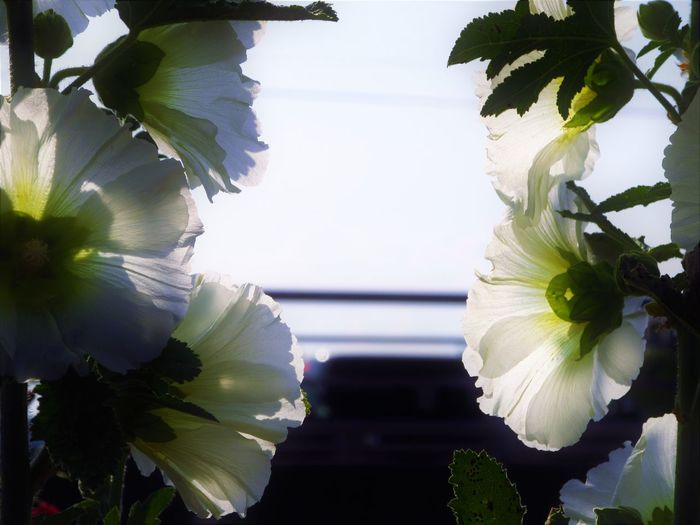 Hollyhock Hollyhocks Nature Close-up Flower Flower Head Flowering Plant Nature No People Outdoors Petal Plant White Color
