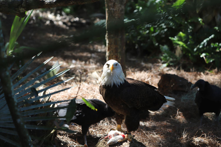 American bald eagle with catch