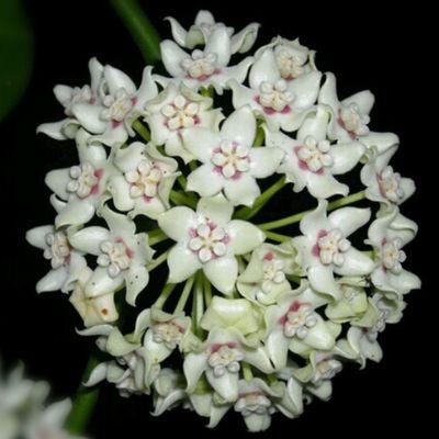 Hoya Australis Naturelovers Floral_lover Flowers Nature Flower Floral