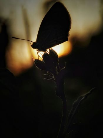 Insect One Animal Animal Themes Flower Silhouette Animals In The Wild Fragility Animal Wildlife Butterfly - Insect Close-up No People Plant Nature Outdoors Freshness Beauty In Nature Day Flower Head