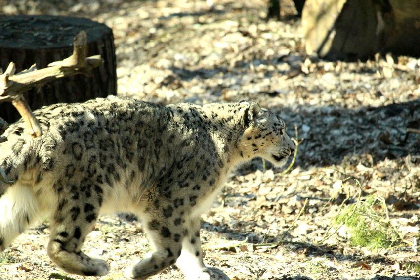 Nature Winter Animal Forrest Leopard Mammel No People Wildlife