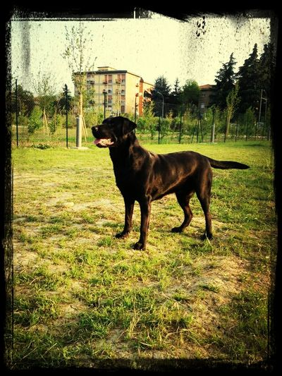 Black Labrador Maya Beautiful Dog 34kg come te nessuno???
