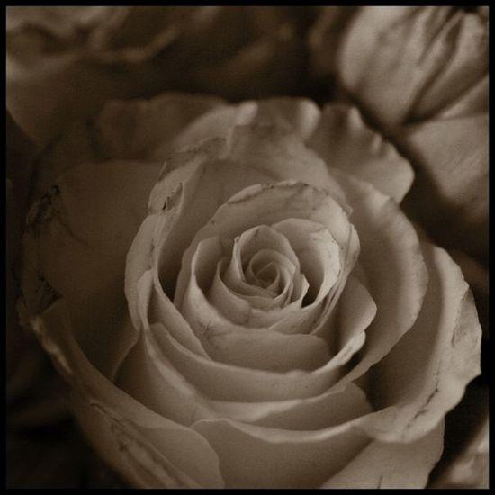 rose Blackandwhite Bw Lobo_bw Lobostudio Lobo_flowers Yankee_challenge1