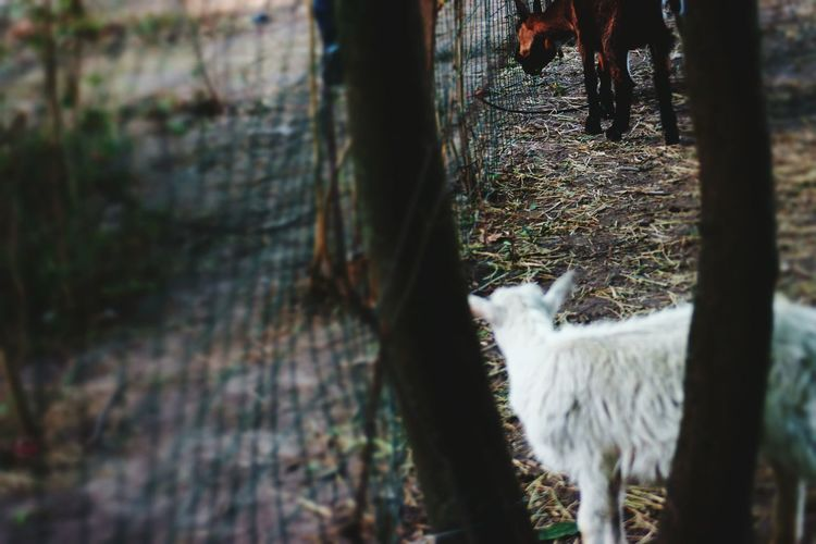 Domestic Animals Livestock Animal Themes Mammal One Animal Agriculture Alpaca Llama Animal Grazing Day Outdoors No People Young Animal Sunlight No Cars In This Picture EyeEm Nature Lover Scenics EyeEm Best Shots Goat Life Goatfarm Full Frame Standing Rural Scene Nature