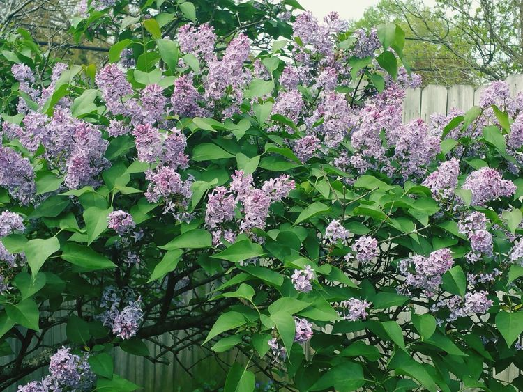 Lilac Tree Purple Lavender Flowers Nature Photography Spring Into Spring