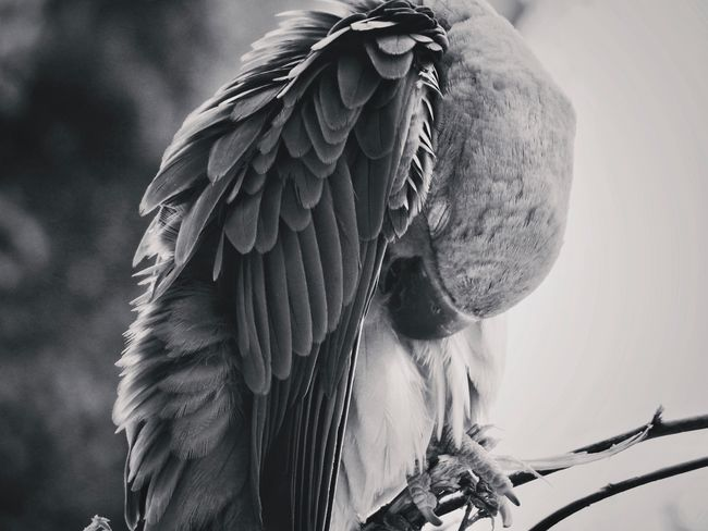 Sleeping parrot Blackandwhite EyeEm Selects Focus On Foreground Close-up Day No People One Animal Animal Themes Animal Animals In The Wild Nature Animal Wildlife Bird Feather  Animal Body Part Tree Autumn Mood