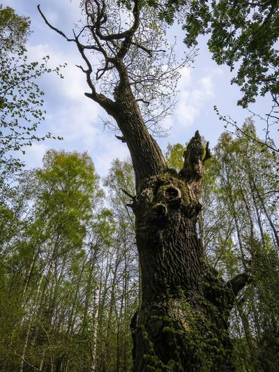 Trekking 530 year old Oak Tree , Nature Reserve Forest