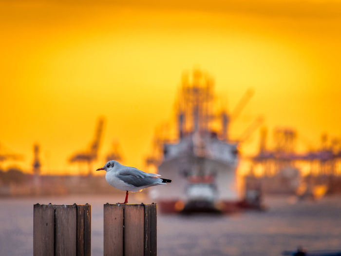 Little gull perching on wooden post by moored ship against orange sky