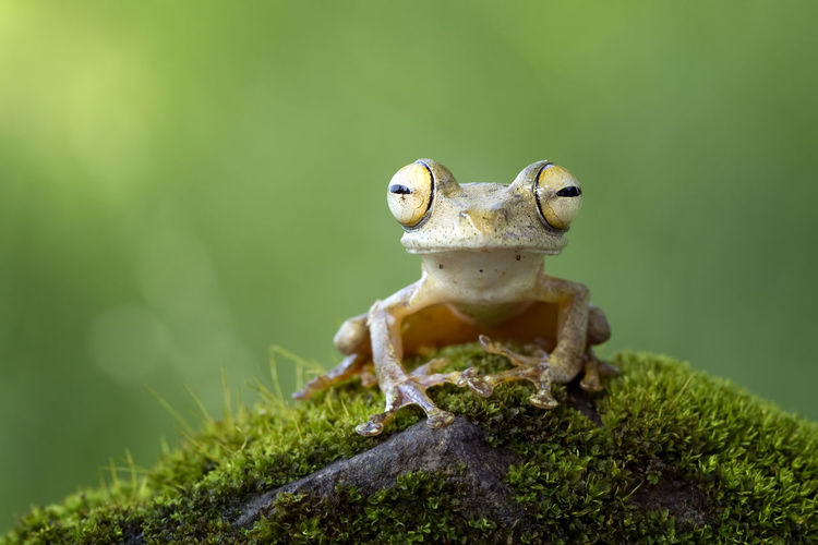 Tree Frog Amphibian Animal Themes Animal Wildlife Animals In The Wild Close-up Day Frogs Green Color Nature No People One Animal Outdoors