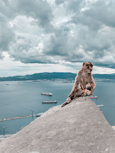 Gibraltar monkey Mediterranean  Hill Monkey Gibraltar Primate Wildlife Bay Of Water Clouds And Sky Mountains Mammal Water Sea Nautical Vessel Sky Horizon Over Water Landscape Lagoon Seascape Coast Rocky Coastline Coastline