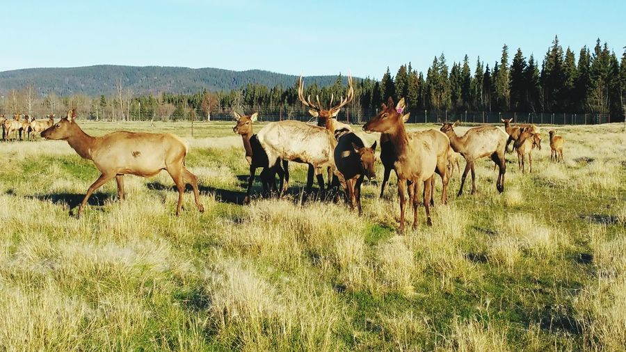 Farm Elk Tree Rural Scene Group Of Animals Agriculture Sky Grass Livestock Herd Pasture Cattle Domestic Cattle Cow Calf Farm Animal Livestock Tag Highland Cattle Domesticated Animal Tag Ranch